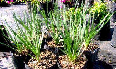 Plantas cebo para jardines sin plagas