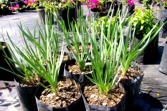Plantas cebo para jardines sin plagas - puntocero