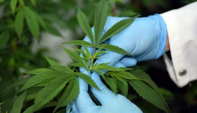 Hierba, codicia y legalización